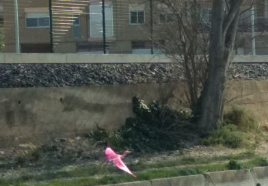 The Pink Egret  / Un esplugabous rosa